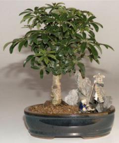 Hawaiian Umbrella Bonsai Tree<br>Stone Landscape Scene<br><i>(Arboricola Schefflera 'Luseanne')</i>