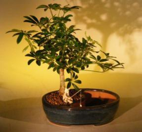 Hawaiian Umbrella Bonsai Tree<br><i></i>Water/Land Container - Medium <br><i>(arboricola schefflera 'luseanne')</i>