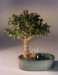 Baby Jade Bonsai Tree<br><i></i>Water/Land Container - Medium<br><i>(Portulacaria Afra)</i>