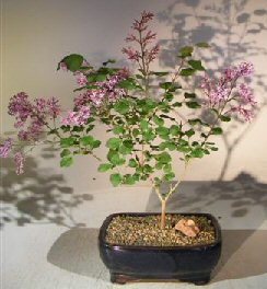 Flowering Dwarf Korean Lilac Bonsai Tree<br><i>(syringa palabiniana)</i>