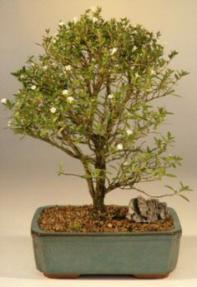 Chinese Flowering White Serissa - Large Broom Style<br>Bonsai Tree of a Thousand Stars<br><i>(Serissa Japonica)</i>