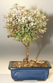 Dwarf Snowbush Bonsai Tree<br><i>(breynia disticha)</i>