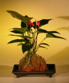 Flowering Red Anthurium  In Hawaiian Lava Rock (