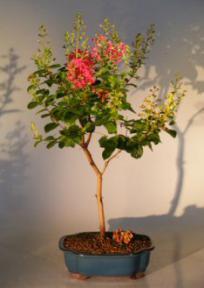 Flowering Crape Myrtle Quot Tonto Quot Large Lagerstroemia Indica