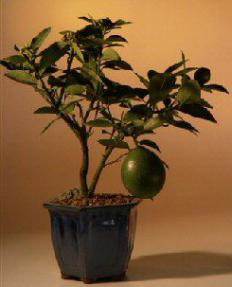 Flowering Lemon Bonsai Tree <br><i>(meyer lemon)</i>