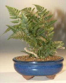 White Rabbit's Foot Fern Bonsai Tree<br><i>(humata tyermanii)</i>