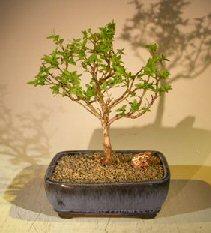 Flowering Top Hat Blueberry Bonsai Tree<br><i>(vaccinium corymbosum argustifolium)</i>