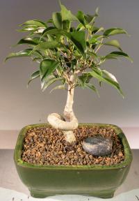 Oriental Ficus Bonsai Tree - Small<br>Coiled Trunk<br><i>(ficus benjamina 'orientalis')</i>