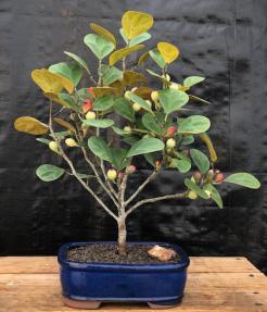 Mistletoe Fig Bonsai Tree<br><i>(ficus diversifolia)</i>