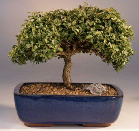 Japanese Kingsville Boxwood Bonsai Tree - Large <br><i>(buxus microphylla 'compacta')</i>