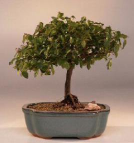 Sweet Plum Bonsai Tree <br><i>(sageretia theezans)</i>