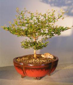 Black Olive Bonsai Tree Medium<br><i>(bucida spinosa)</i>