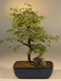 Flowering Brazilian Raintree Bonsai Tree Large<br><i>(pithecellobium tortum)</i>