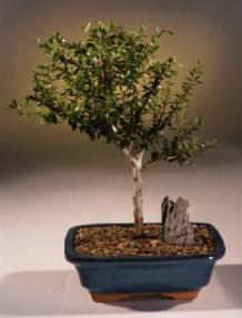 Flowering Jamaican Raintree Bonsai Tree<br><i>(brya ebenus)</i>