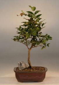 Flowering Jaboticaba Bonsai Tree - Medium <br><i>(eugenia caulifora)</i>