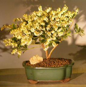 Flowering Andromeda Bonsai Tree - Large<br><i>(pieris japonica variegata)</i>