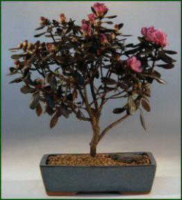 Rhododendron Bonsai Treesambuscus Thunder
