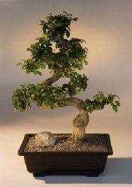 Rosemary Bonsai Tree Rosmarinus Officinalis
