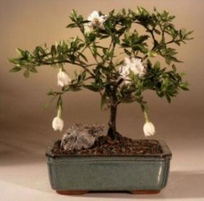 Flowering Gardenia Bonsai Tree Medium Gardenia Jasminoides