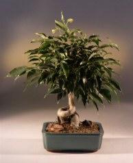 Oriental Ficus Bonsai Tree (Coiled Trunk) - Large<br><i>(benjamina 'orientalis')</i>