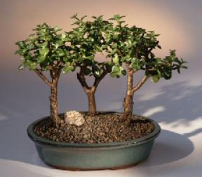 Baby Jade - 3 Bonsai Tree Group<br><i>(portulacaria afra)</i>