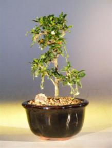 Fukien Tea Bonsai Tree - Small<br>Straight Trunk Style<br><i>(ehretia microphylla)</i>