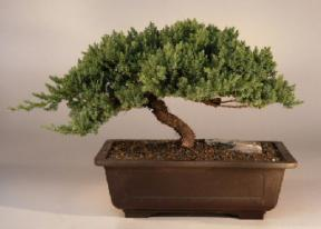 Juniper Windswept - Extra Large <br><i>(juniper procumbens 'nana')</i>