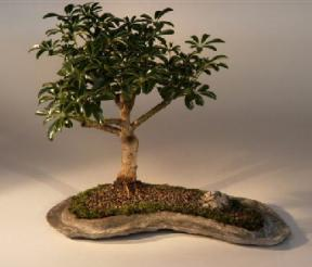 Hawaiian Umbrella Bonsai Tree on a Rock Slab<br><i>(arboricola schefflera 'luseanne')</i>