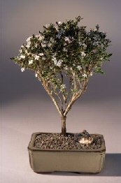 Flowering Mount Fuji Serissa  - Medium<br><i>(serissa foetida)</i>