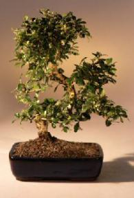 Fukien Tea Flowering Bonsai Tree - Large<br>Curved Trunk Style<br><i>(ehretia microphylla)</i>