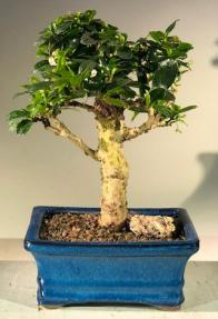 Flowering Fukien Tea  Bonsai Tree - Upright Aged<br><i> (ehretia microphylla)</i>