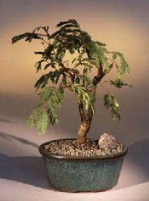 Flowering Mimosa Bonsai Tree<br><i>(leucaena glauca)</i>