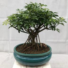 Hawaiian Umbrella Bonsai Tree - Large<br>Exposed Roots<br><i>(arboricola schefflera 'luseanne')</i>