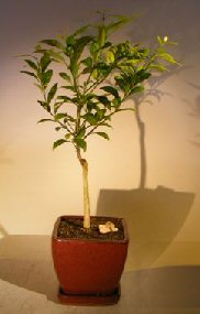 Flowering Seedless Tangerine Citrus Bonsai Tree<br><i>(kishu mandarin)</i>