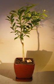 Flowering Seedless Tangerine Citrus Bonsai Tree<br><i>(kishu mandarin)</i>