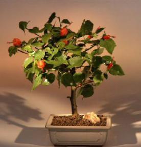 Flowering Dwarf Hibiscus - Medium<br><i>(Malvaviscus alboretus 'compactus')</i>