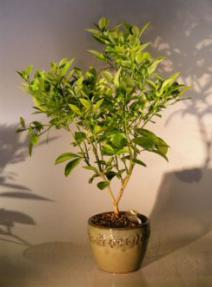 Blood Orange Bonsai Tree <br><i>('citrus sinensis')</i>