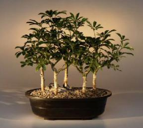 Hawaiian Umbrella Bonsai Tree<br>Five Tree Forest Group<br><i>(arboricola schefflera 'luseanne')</i>