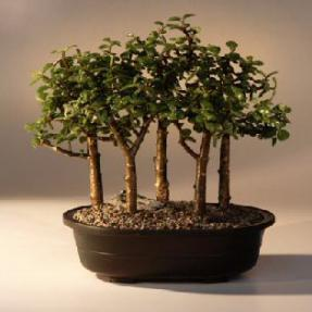 Baby Jade Bonsai Tree <br>Five Tree Forest Group <br><i>(Portulacaria Afra)</i>