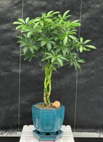 Hawaiian Umbrella Bonsai Tree <br>Braided Twist <br><i>(Arboricola Schefflera 'Luseanne')</i>