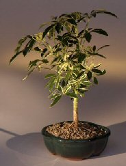 Golden Hawaiian Umbrella Bonsai Tree - Small<br><i>(arboricola schefflera 'luseanne')</i>
