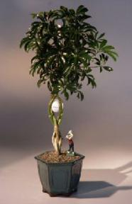 Hawaiian Umbrella  Bonsai Tree<br>Braided Trunk With Golf Ball & Golfer Figurine<br><i>(arboricola schefflera)</i>