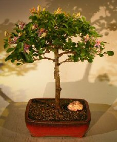 Flowering Lavender Star Flower Bonsai Tree - Large<br><i>(Grewia Occidentalis)</i>