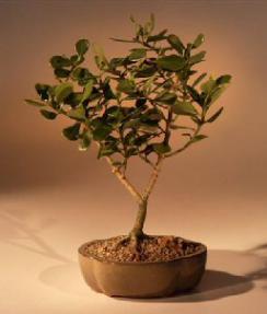 Flowering Tropical Dwarf Apple Bonsai Tree - Large<br><i>(clusia rosea 'nana')</i>