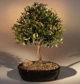 Flowering Brush Cherry Bonsai Tree - Large<br><i>(Eugenia Myrtifolia)</i>