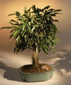Oriental Ficus Bonsai Tree - Aged<br><i>(ficus benjamina 'orientalis')</i>