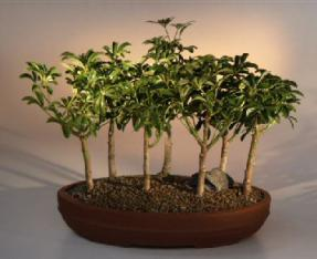 Hawaiian Umbrella Bonsai Tree <br>7 Tree Forest Group<br><i>(arboricola schefflera 'luseanne')</i>