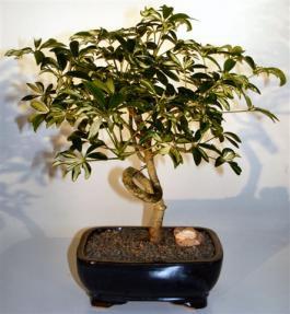 Hawaiian Umbrella Bonsai Tree<br> Coiled Trunk  - Variegated<br><i>(arboricola schefflera)</i>