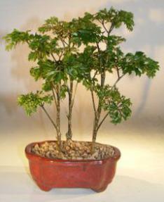 Dwarf Parsley Aralia Bonsai Tree - Three (3) Tree Group<br><i>(polyscais 'parsley')</i>