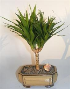 Needle Point Dracena Bonsai Tree <br><i>(dracena marginata)</i>